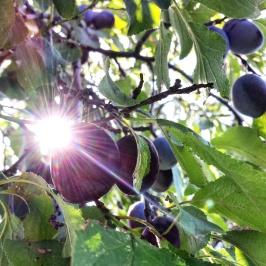 06_plums